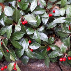 庭の藪柑子