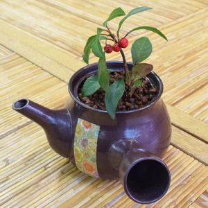 挿し芽の藪柑子