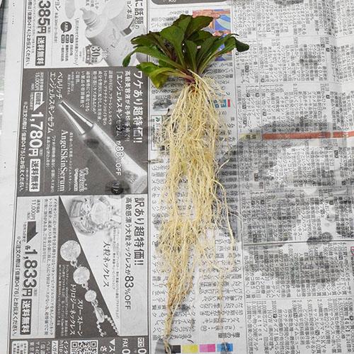 根がとても長い