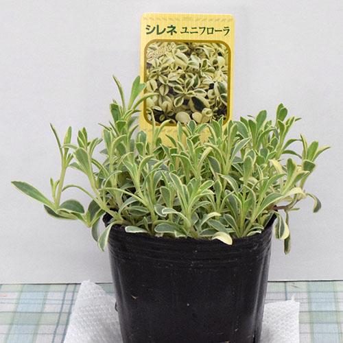 ナデシコ科 耐寒性、半常緑多年草