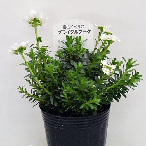 元の花、ブライダルブーケ